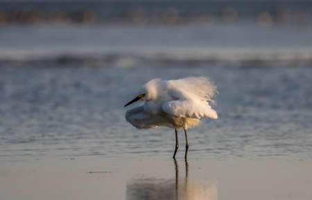 carlos: Snowy Egret (Egretta thula), Breeding Plumage, San Carlos Bay, Bunche Beach Preserve, Florida Stock Photo