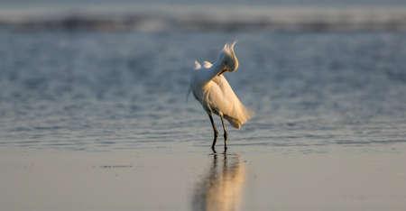 Snowy Egret (Egretta thula), Breeding Plumage, San Carlos Bay, Bunche Beach Preserve, Florida Stok Fotoğraf