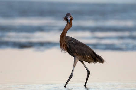 reddish: Reddish Egret (Egretta rufescens), San Carlos Bay, Bunche Beach Preserve, Florida