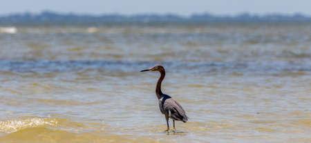Reddish Egret (Egretta rufescens), San Carlos Bay, Bunche Beach Preserve, Florida