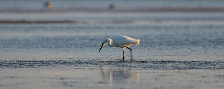 foraging: Snowy Egret (Egretta thula) Foraging, Breeding Plumage, San Carlos Bay, Bunche Beach Preserve, Florida