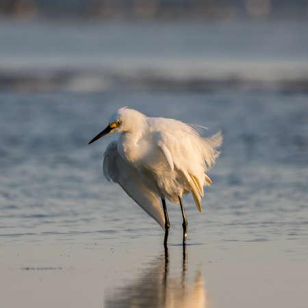 breeding: Snowy Egret (Egretta thula), Breeding Plumage, San Carlos Bay, Bunche Beach Preserve, Florida Stock Photo