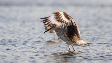 carlos: Red Knot (Calidris canutus)  Stretching the Wings, San Carlos Bay, Bunche Beach Preserve, Florida