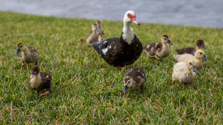 muscovy duck: Muscovy Duck (Cairina moschata) With Ducklings, Lake at The Hammocks, Kendall, Florida Stock Photo