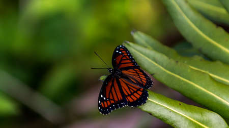 everglades national park: Viceroy Butterfly, Everglades National Park, Florida