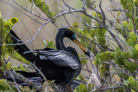 juveniles: Anhinga (Anhinga anhinga) in Nest with Juvenile, Everglades National Park, Florida Stock Photo