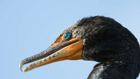 Everglades national park: Double-Crested Cormorant (Phalacrocorax auritus), Everglades National Park, Florida