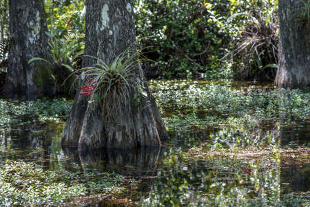 quietness: Cypress (Taxodium distichum) Roots, Swamp, Big Cypress National Preserve, Florida