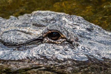 Alligator (Alligator mississippiensis) Eye, Big Cypress National Preserve, Florida