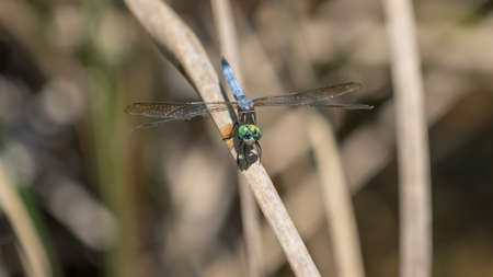 cypress: Dragonfly, Big Cypress National Preserve, Florida