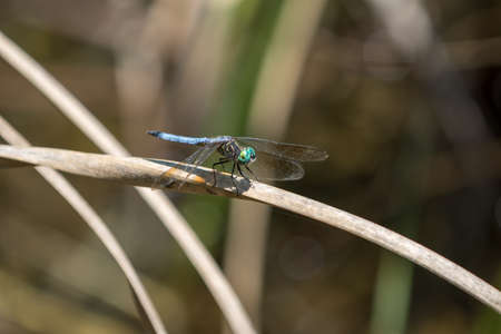 Dragonfly, Big Cypress National Preserve, Florida
