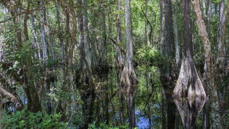 Cypress (Taxodium distichum) Trees, Swamp, Big Cypress National Preserve, Florida