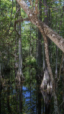 quietness: Cypress (Taxodium distichum) Trees, Swamp, Big Cypress National Preserve, Florida