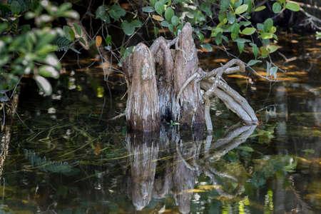 Cypress (Taxodium distichum) Knees, Swamp, Big Cypress National Preserve, Florida Stock Photo