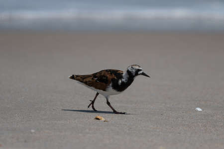 foraging: Ruddy Turnstone (Arenaria interpres) Foraging, Playalinda Beach, Merritt Island, Florida