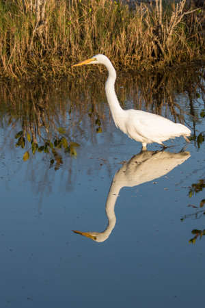 ardea: Great Egret (Ardea alba), Merritt Island National Wildlife Refuge, Florida Stock Photo