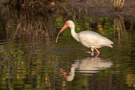 White Ibis (Eudocimus albus) Foraging, Merritt Island National Wildlife Refuge, Florida