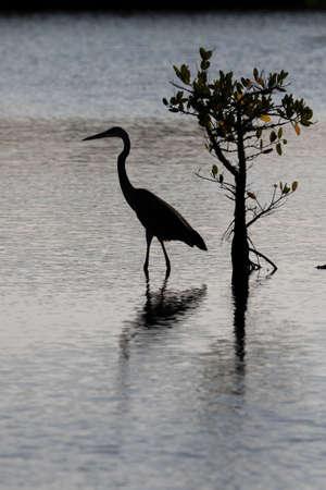 herodias: Great Blue Egret (Ardea herodias), Merritt Island National Wildlife Refuge, Florida Stock Photo