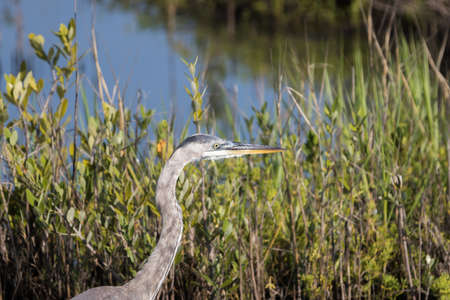 refuge: Great Blue Egret (Ardea herodias), Merritt Island National Wildlife Refuge, Florida Stock Photo
