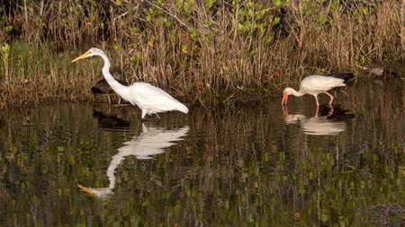 Great Egret (Ardea alba), White Ibis (Eudocimus albus), Glossy Ibis (Plegadis falsinellus), Merritt Island National Wildlife Refuge, Florida