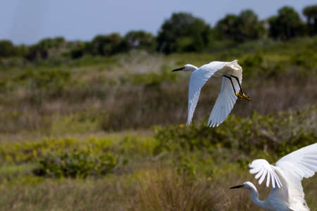 egrets: Snowy Egrets (Egretta thula) Flying, Merritt Island National Wildlife Refuge, Florida