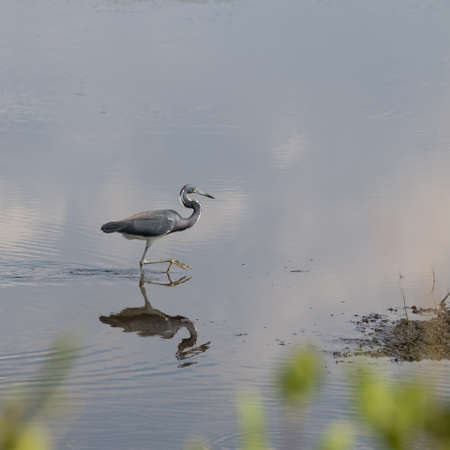 foraging: Tricolored Heron (Egretta tricolor) Foraging, Merritt Island National Wildlife Refuge, Florida