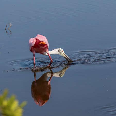 foraging: Roseate Spoonbill (Platalea ajaja) Foraging, Merritt Island National Wildlife Refuge, Florida