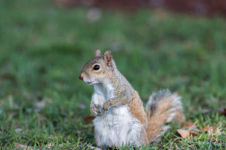 orlando: Squirrel (Sciurus carolinensis) Staring, Winter Park, Orlando, Florida Stock Photo