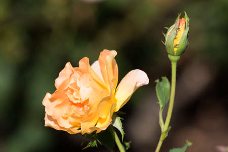 A Yellow Rose and Rose Bud, Winter Park, Orlando, Florida Stock Photo
