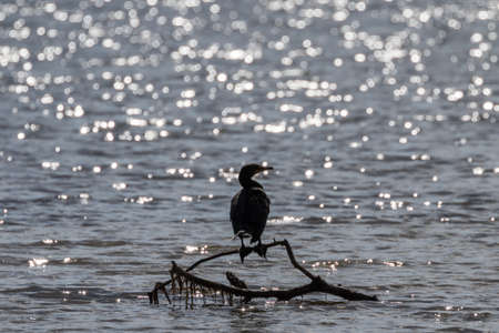 Double-Crested Cormorant (Phalacrocorax auritus), J.N. Ding Darling National Wildlife Refuge, Sanibel Island, Florida Stock Photo