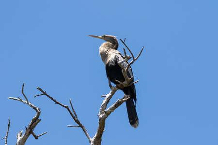 Anhinga (Anhinga anhinga), J.N. Ding Darling National Wildlife Refuge, Sanibel Island, Florida