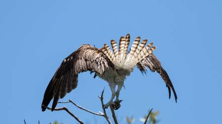 Osprey (Randion haliaetus) Flying, J.N. Ding Darling National Wildlife Refuge, Sanibel Island, Florida