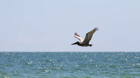 pelecanus: Brown Pelican (Pelecanus occidentalis) Flying, J.N. Ding Darling National Wildlife Refuge, Sanibel Island, Florida