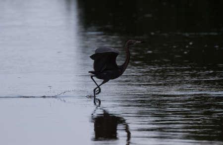 reddish: Reddish Egret (Egretta rufescens) Running, J.N. Ding Darling National Wildlife Refuge, Sanibel Island, Florida