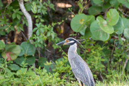 Yellow-Crowned Night-Heron (Nyctanassa violacea), J.N. Ding Darling National Wildlife Refuge, Sanibel Island, Florida