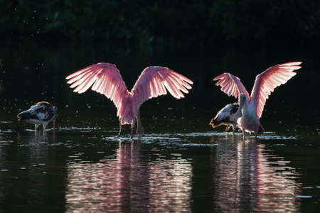 Roseate Spoonbills (Platalea ajaja) and juvenile white ibis (Eudocimus albus) in the golden hour, J.N. Ding Darling National Wildlife Refuge, Sanibel Island, Florida Stock Photo