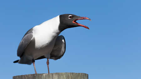 Laughing Gull (Larus atricilla) Cawing, Clearwater, Florida