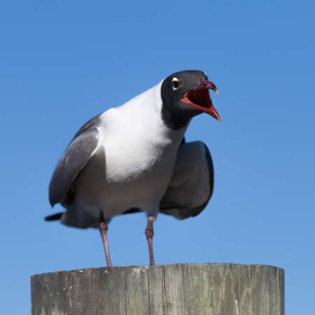 larus: Laughing Gull (Larus atricilla) Cawing, Clearwater, Florida