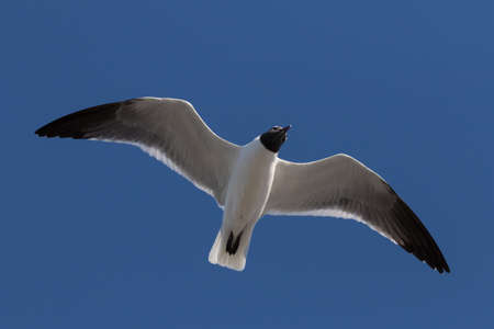 Laughing Gull (Larus atricilla) Flying, Clearwater, Florida