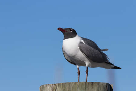 Laughing Gull (Larus atricilla), Clearwater, Florida