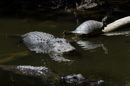 Alligators (Alligator mississippiensis) and Turtle (Pseudemys concinna floridana) Resting, Swimming, Big Cypress National Preserve, Florida, USA