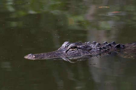 Alligator (Alligator mississippiensis) Swimming, Big Cypress National Preserve, Florida, USA