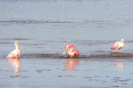 Roseate Spoonbills (Platalea ajaja) Bathing, J.N. Ding Darling National Wildlife Refuge, Sanibel Island, Florida, USA Stock Photo