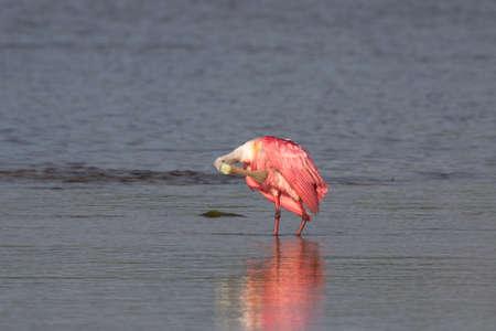 Roseate Spoonbill (Platalea ajaja), J.N. Ding Darling National Wildlife Refuge, Sanibel Island, Florida, USA Stock Photo