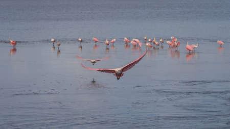 Roseate Spoonbills (Platalea ajaja) Flying, J.N. Ding Darling National Wildlife Refuge, Sanibel Island, Florida, USA Stock Photo