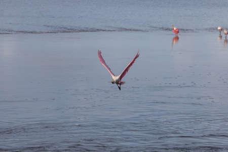 Roseate Spoonbill (Platalea ajaja) Flying, J.N. Ding Darling National Wildlife Refuge, Sanibel Island, Florida, USA Stock Photo