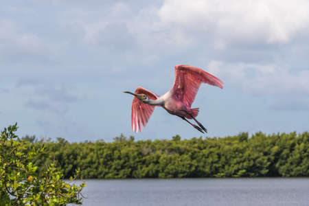 Roseate Spoonbill (Platalea ajaja) Flying, J.N. Ding Darling National Wildlife Refuge, Sanibel Island, Florida, USA Stock Photo