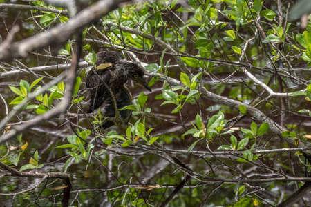 Juvenile Green Heron (Butorides virescens), J.N. Ding Darling National Wildlife Refuge, Sanibel Island, Florida, USA