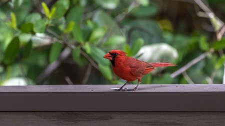 Northern Cardinal (Cardinalis cardinalis), J.N. Ding Darling National Wildlife Refuge, Sanibel Island, Florida, USA
