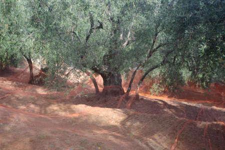 foglie: Olive